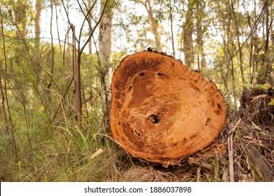 Tree cut down by logging