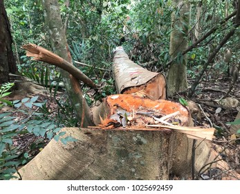 A tree cut down in a mature forest.