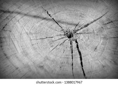 Tree cut trunk texture close up. Wooden background black and white