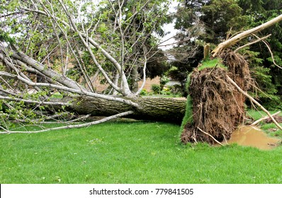 Tree downed in a yard by a high wind storm
