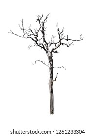 Tree dry or dead on white background with clipping path.
