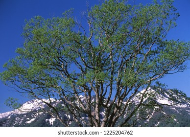 Tree of early spring