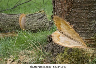 A tree falling while being cut with log in background