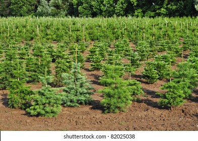 Tree farm nursery plantation,young forest grow