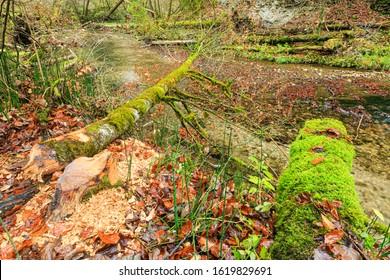Tree, felled by a beaver