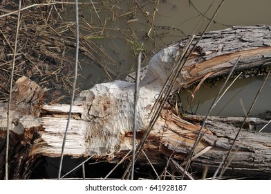The tree felled by the beavers