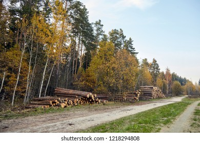 Tree felling. Deforestation. Logging сoniferous trees. Wood is a renewable source of energy. Autumn forest