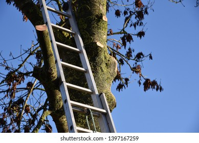 Tree felling: an extendable ladder is used to gain access to branches to allow them to be trimmed before the main tree trunk is felled
