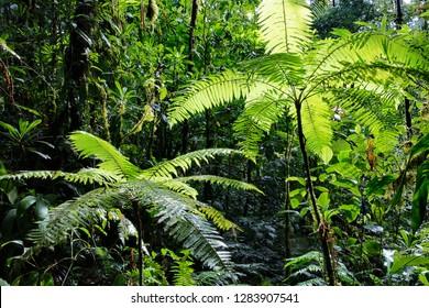tree fern in Amazonian rain forest Colombia
