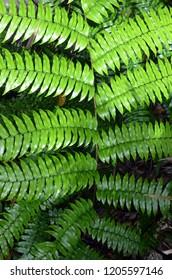 Tree Fern (Cyathea rebeccae), Tropical Daintree Rainforest, Queensland Australia
