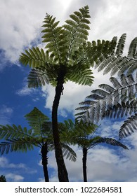 Tree ferns in the Australian rain forest in a town called Kuranda.