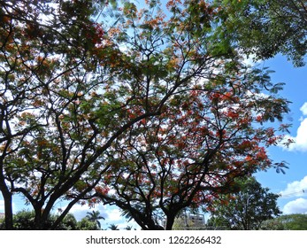 Tree Flamboyant on a beautiful day of blue sky with clouds. It is well flowery coloring the landscape of Dourados