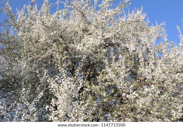 Tree flourish Flowers White