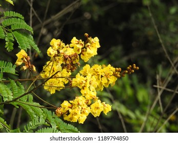 Tree Flowers, Beautiful  yellow-flamboyant. It also known as many names yellow flametree.
