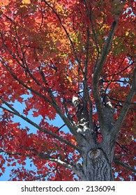 Tree foliage with bright fall colored leaves against a blue sky background.