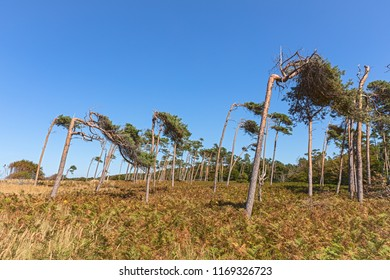 tree formed by the wind at Darss (baltic sea coast)