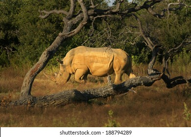 Tree Framed Rhino bull