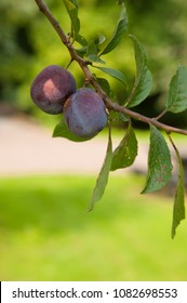 Tree with fresh plums