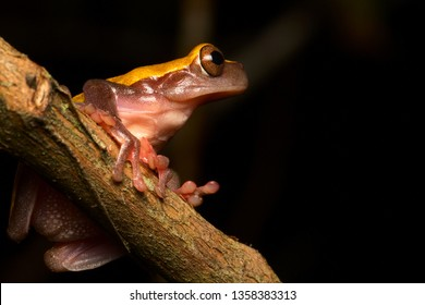 tree frog in Amazon rain forest