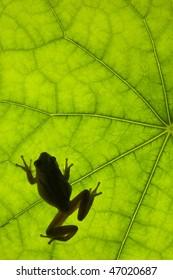 Tree frog backlit on a leaf