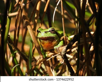 A tree frog in the bushes