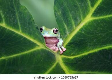 Tree frog, dumpy frog on leaves, animal,        dumpy, australia frog