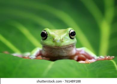 Древесная лягушка, тупая лягушка на листьях
