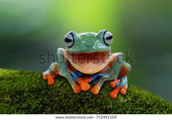 Tree frog, Flying frog laughing, animal closeup