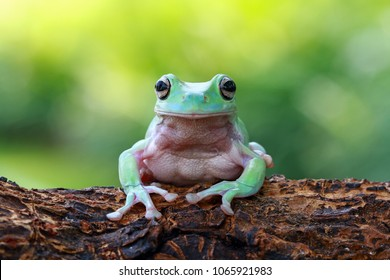 Tree frog, frogs, dumpy frog sitting on wood