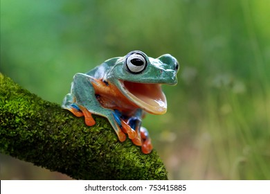 Tree frog, funny frog