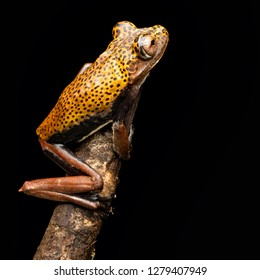 tree frog Hypsiboas geographica, a tropical rain forest animal from the Amazon rain forest