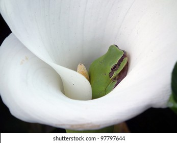 Tree Frog inside the calla lily