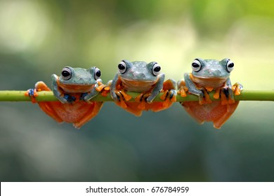 Tree frog, java tree frog, flying frog on branch