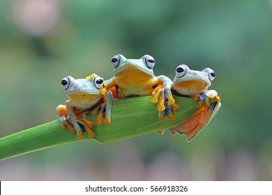 Древесная лягушка, Яван дерево лягушка сидит на зеленых листьях
