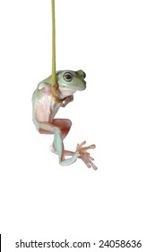 Tree Frog Litoria caerulea hang on Branch