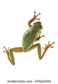 Tree frog (Litoria infrafrenata) on a white background