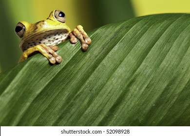 tree frog looking over green leaf amphibians are nocturnal endangered animals need nature conservation background copy space tropical amazon Bolivia rain forest