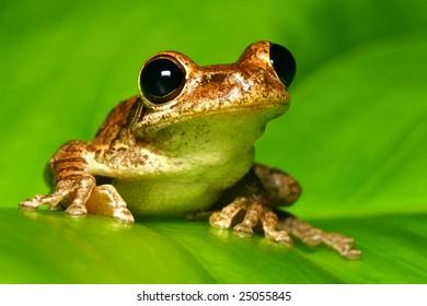 Tree Frog on Backlit Green Leaf