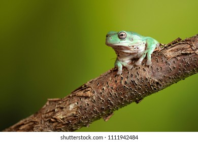 Tree Frog on branch with green background