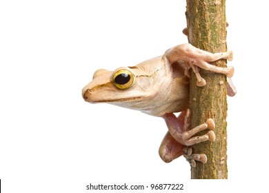 Tree frog on dry branch