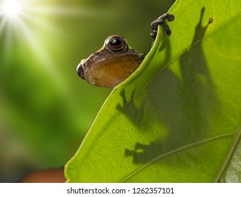 Tree frog on leaf, Dendropsophus manonegra a tropical rain forest frog from the Amazon rain forest in Colombia.