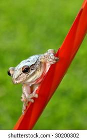 Tree frog on Vressia Bromelaid