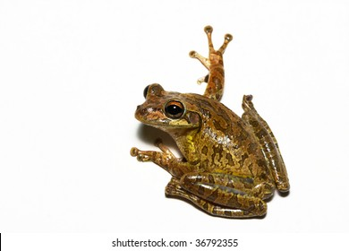 Tree Frog on White Wall Isolation
