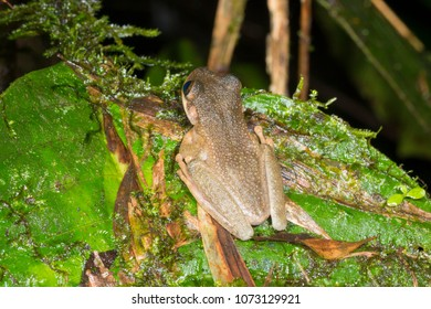 Tree Frog (Osteocephalus verruciger) in the rainforest understory in Morona Santiago province, Ecuador