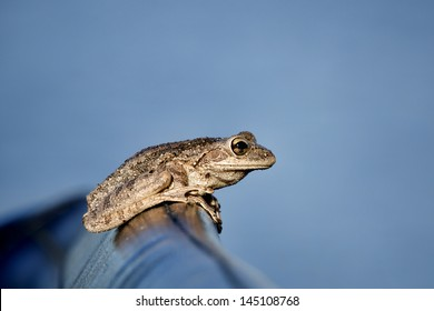 Tree frog (possibly a Cuban tree Frog) perched on the seat of an airboat in Central Florida.  The frog is mostly framed against a blue  sky. Image has ample negative space for copy / text.