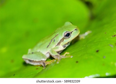 tree frog prince swollen cheeks green frog green background
