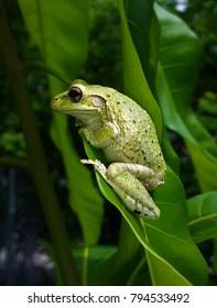Tree frog sitting on leaf mango tree foliage tropical setting reptile image nature textbook educational frog rib it