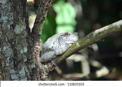 Tree Frog Sunbathing in a tree