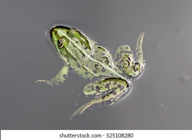Tree frog swims in the lake