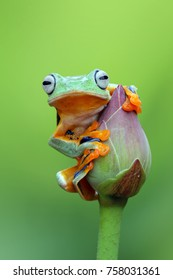 Tree frog, Wallace, flying frog